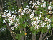4th Sep 2019 - White Flowers on Tree