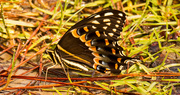 4th Sep 2019 - Palamedes Swallowtail Butterfly!