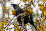 5th Sep 2019 - Tui in the Kowhai