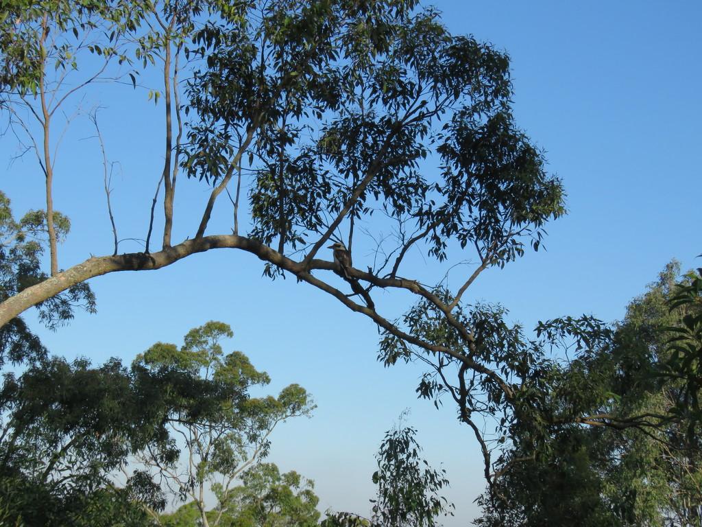 nifty kooka by koalagardens