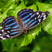 Blue Striped Butterfly