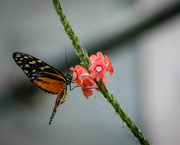 30th Aug 2019 - Orange and Black Butterfly