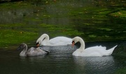 4th Sep 2019 - Palace swans