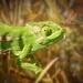 Chameleon  by ludwigsdiana