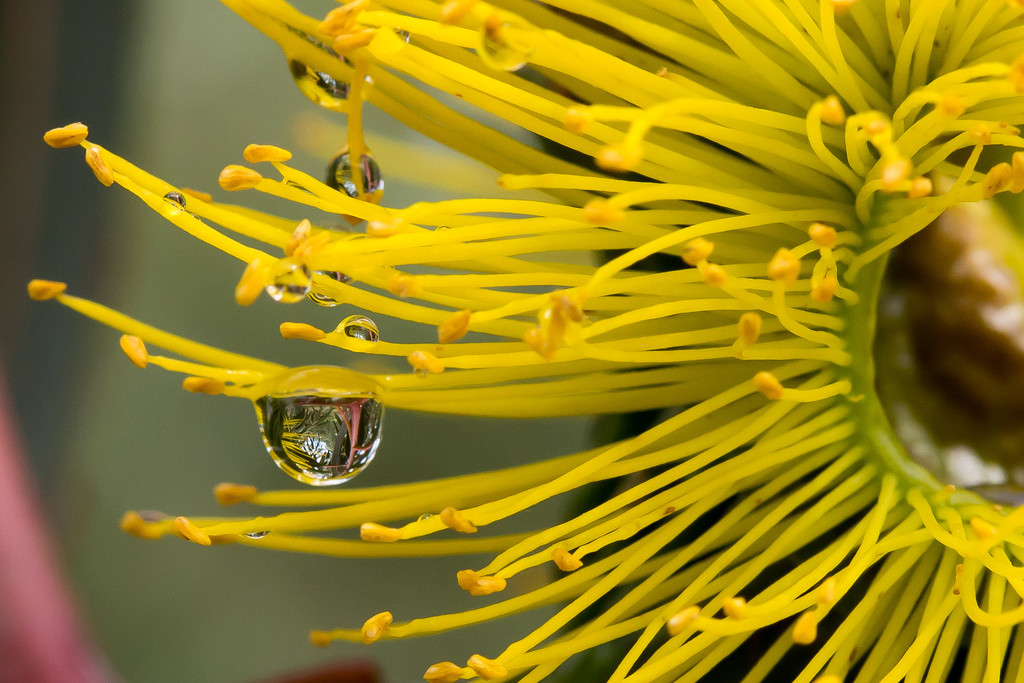 Reflection in raindrops on Eucalyptus  by imaginingsbysue