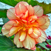 Begonia. by tonygig