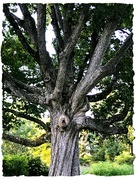 6th Sep 2019 - Swamp Oak or Whomping Willow Wannabe