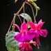 Fuchsia by pamknowler