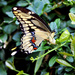 Giant Swallowtail by photographycrazy