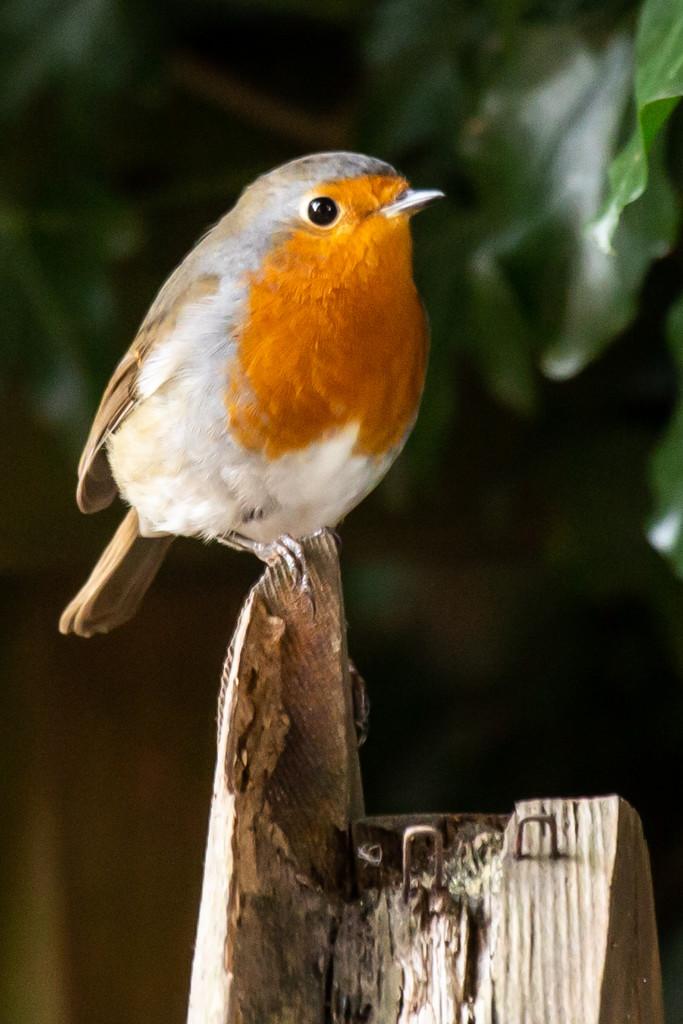 My little robin by pamknowler