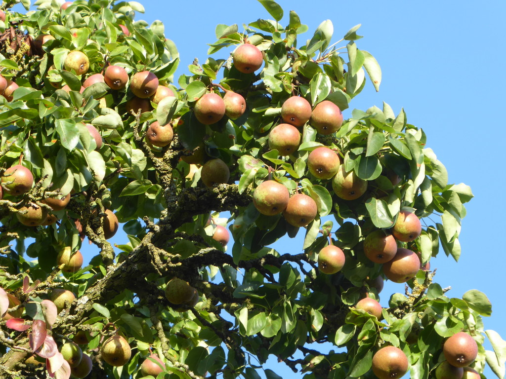 A good year for Cider pears by snowy