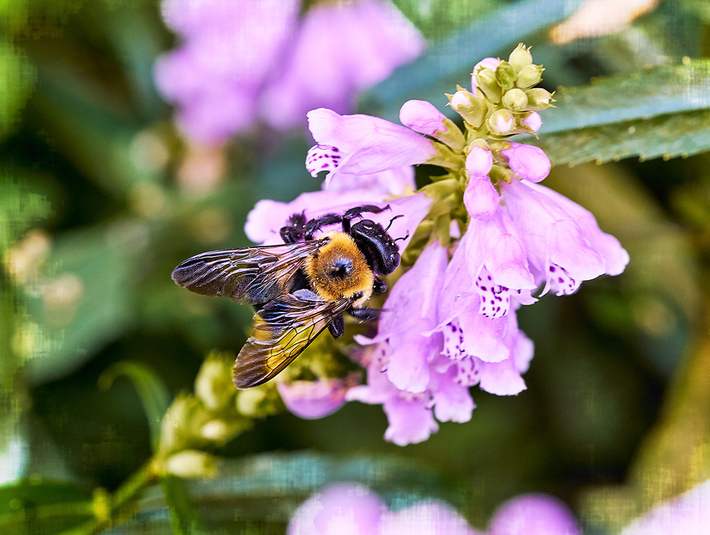 Bee on Obedient Plant by gardencat
