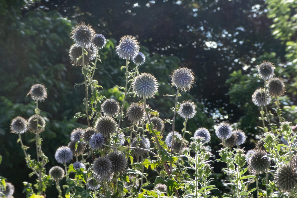 Globe thistle by sheilaw