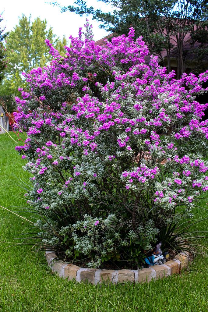 Sage in Bloom by judyc57