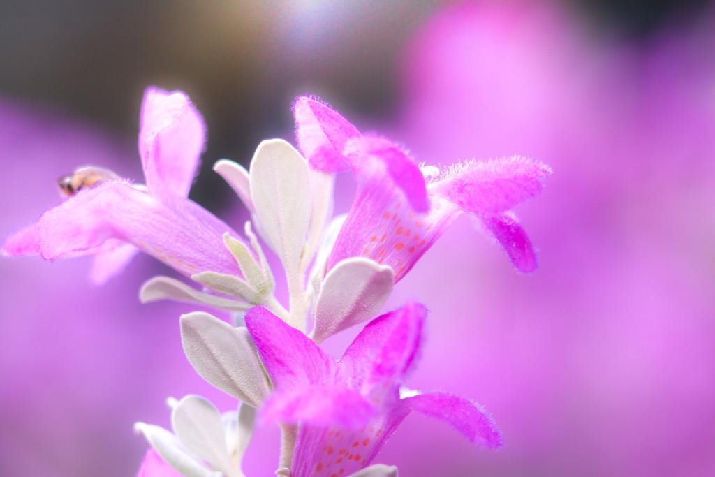 Purple sage by judyc57