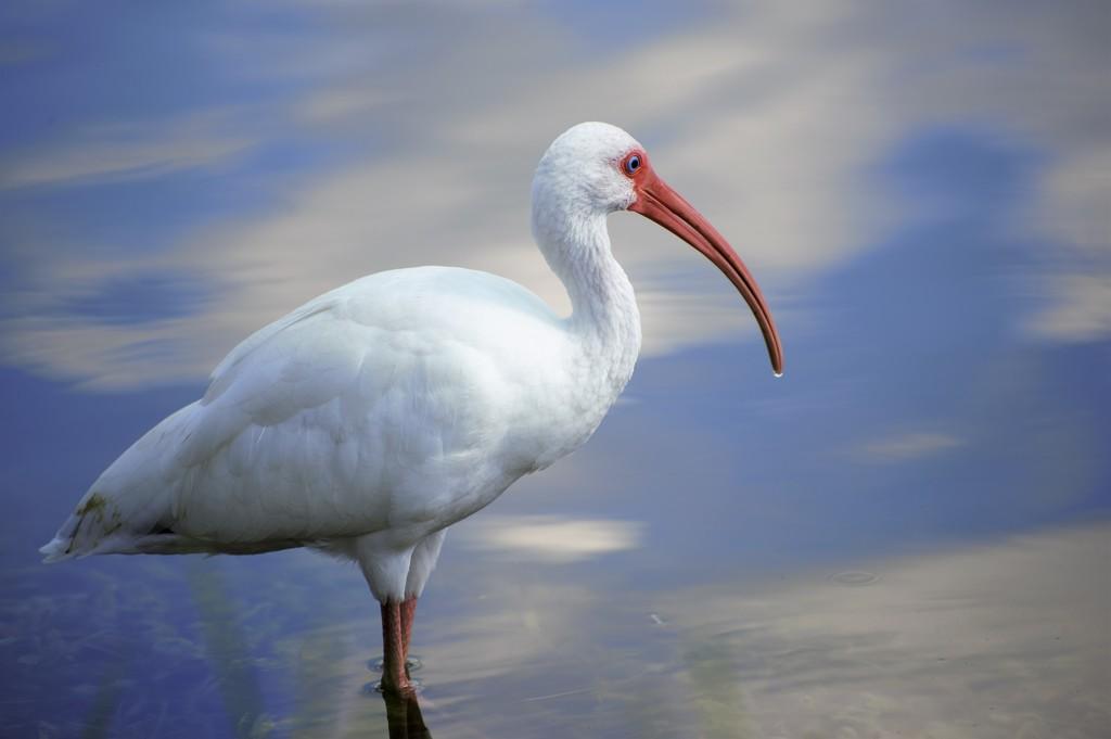 White Ibis by chejja