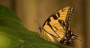 6th Sep 2019 - Eastern Tiger Swallowtail Butterfly, Taking a Break!