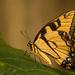 Eastern Tiger Swallowtail Butterfly, Taking a Break! by rickster549