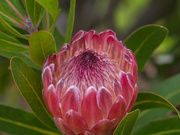 3rd Sep 2019 - Red Ice Protea