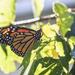 morning monarch