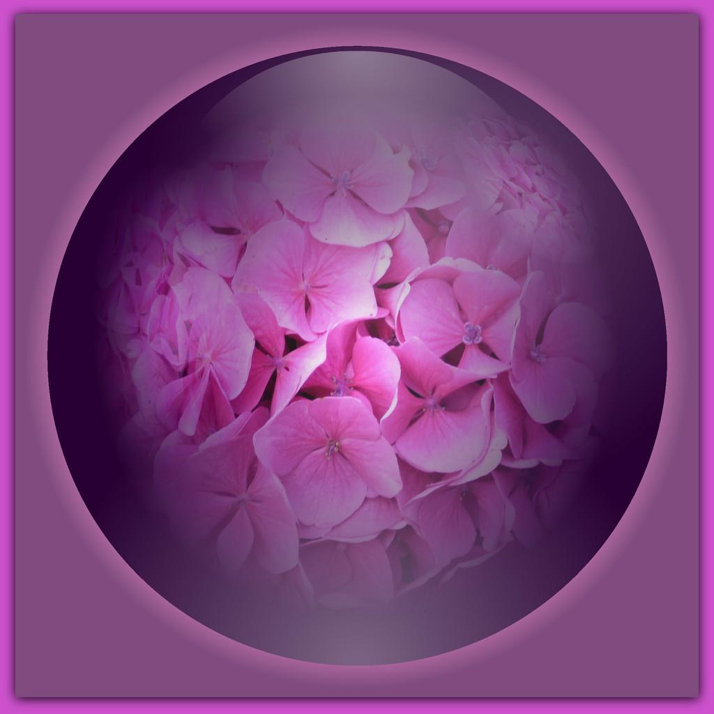 Phlox ---oops a bloomer -its a Hydrangea !! by beryl