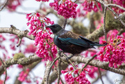 7th Sep 2019 - Tui in the cherry blossom