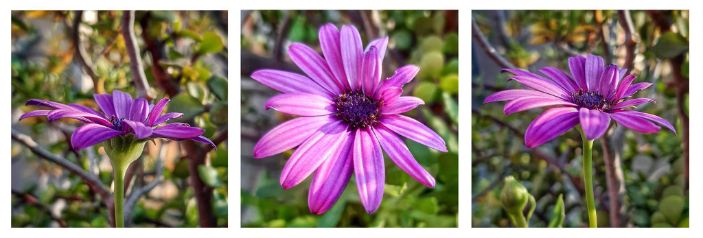 Purple Daisy by salza