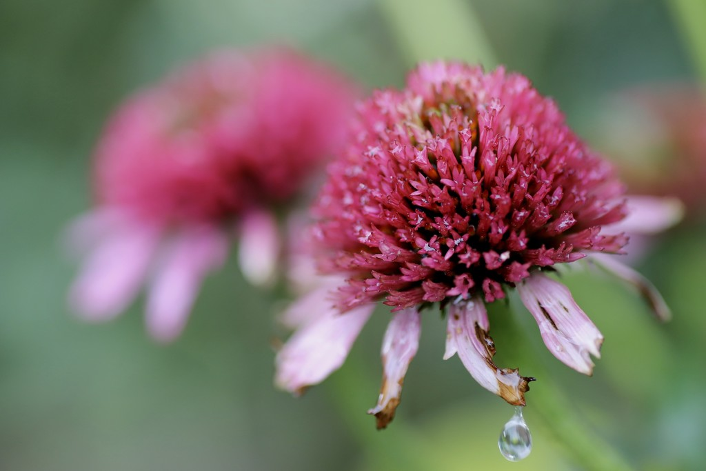 Cone Flower Macro by phil_sandford