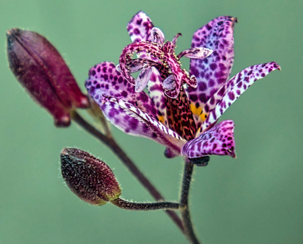 Colourful Toad Lily by tonygig