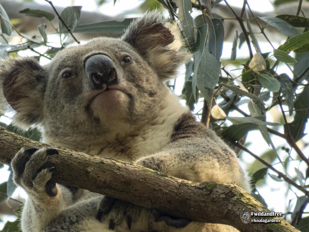 meet the 'event' koala by koalagardens