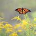 Female monarch! by fayefaye