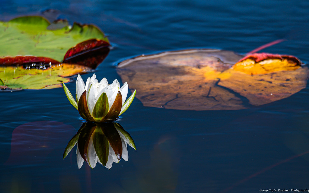 A Lovely Lily in Millers Marsh by taffy
