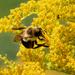bumblebee in goldenrod