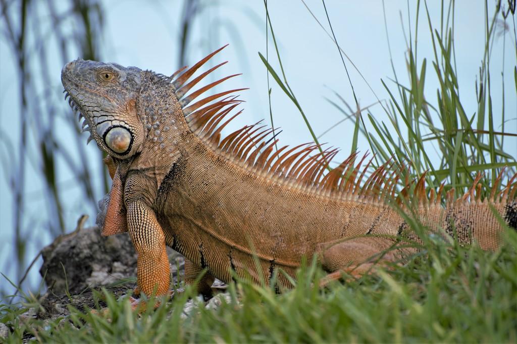 Male Iguana by chejja