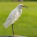 Snowy Egret Taking a Break!
