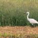 Egret by ianjb21