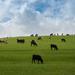 Heard of Cows?