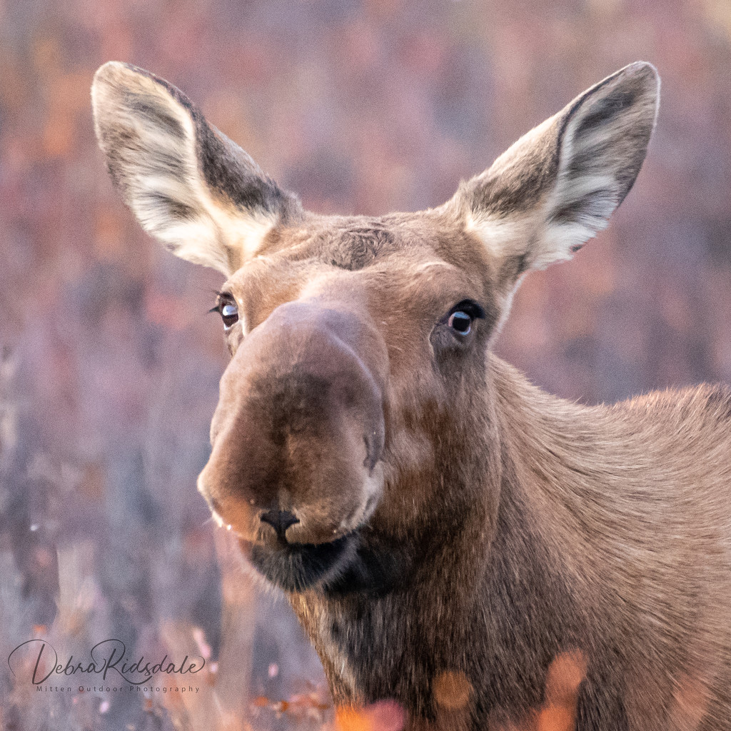 Cow Moose In Denali Alaska  by dridsdale