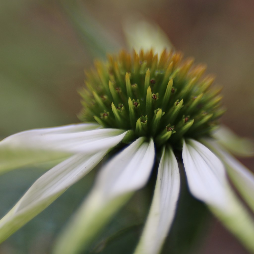 Cone Flower by motherjane