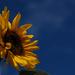 Last Sunflower by ilovelenses