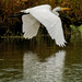 great white egret closeup with reflection