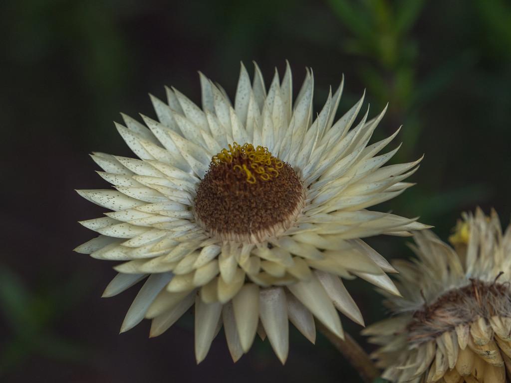 Daisy flower by gosia