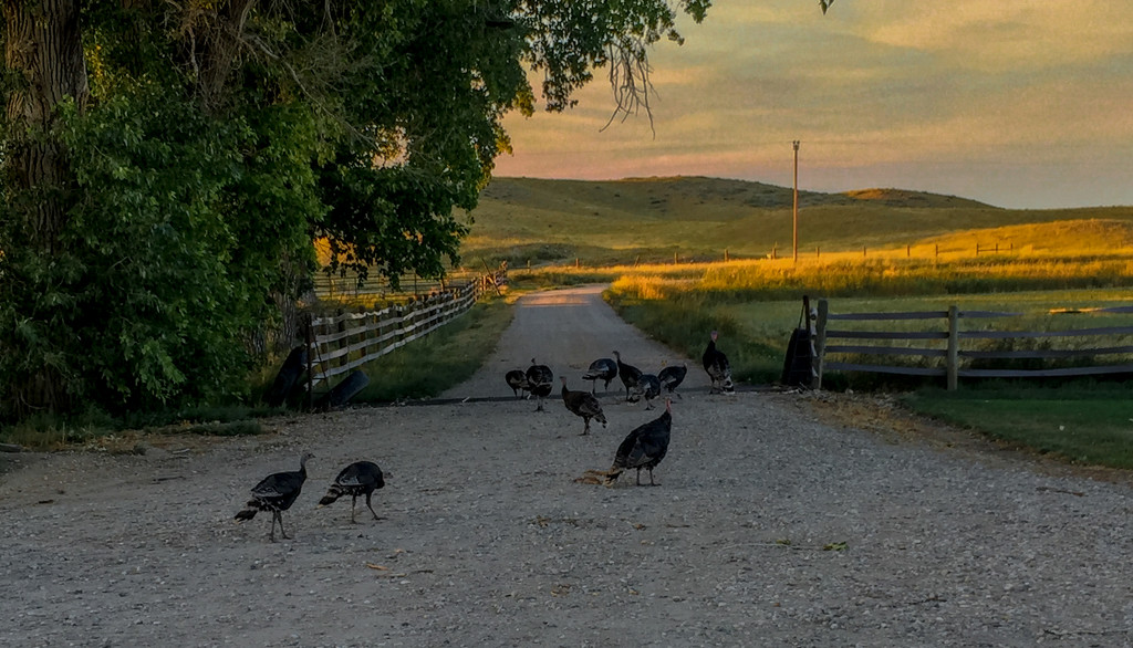 Wild Turkeys by jetr