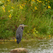 great blue heron and blackeyed susans