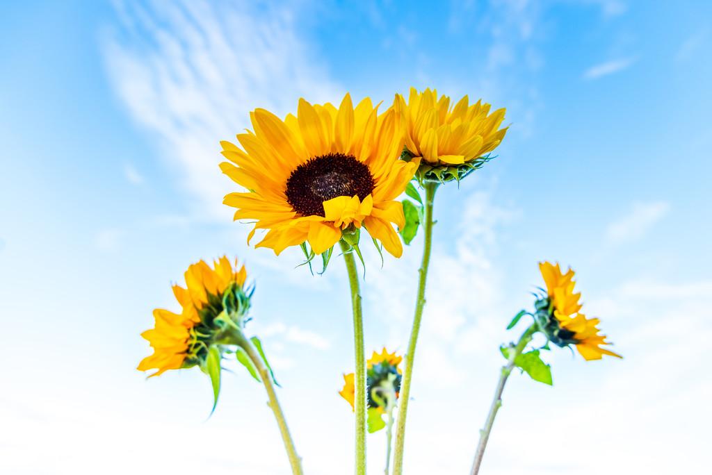 Sunflowers by kwind