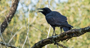 8th Sep 2019 - The Crow in the Neighbor's Tree!