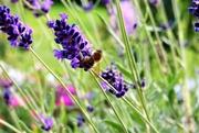 10th Sep 2019 - Still chasing bees !!