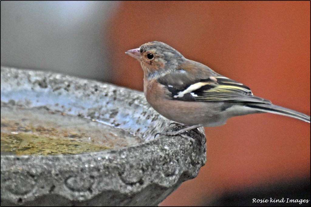 RK2_5596 Male chaffinch by rosiekind