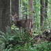 Deer in the Laurel Highlands woodlands