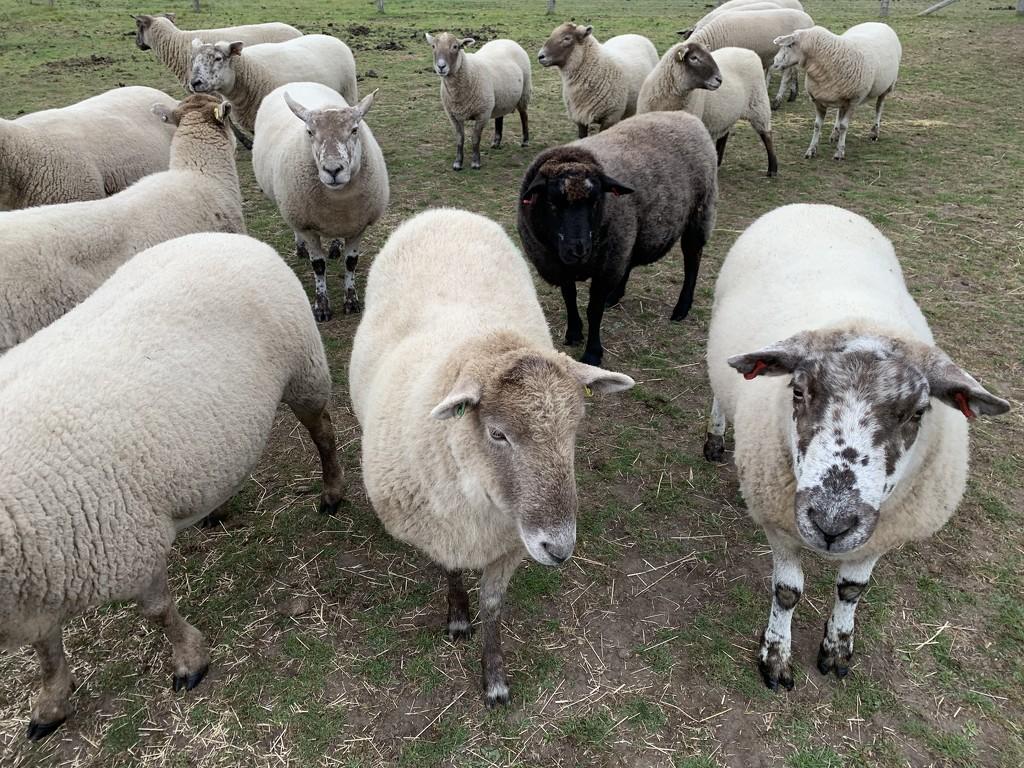 Sheep by mattjcuk